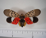 Mature Spotted Lanternfly - Lawrence Barringer & Pennsylvania Dept. of Agriculture, Bugwood.org